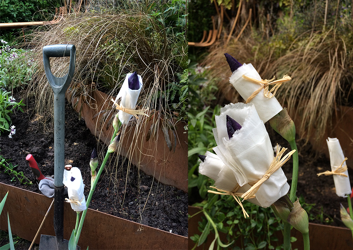 Timing is everything - how to delay your irises from flowering too early!