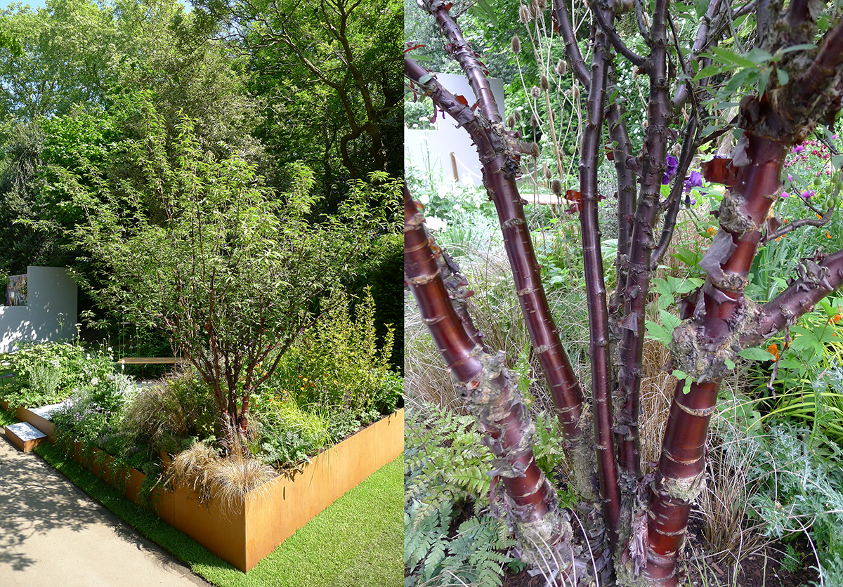 One of the most asked questions - what sort of tree is that? - Prunus Serrula (multi-stemmed)