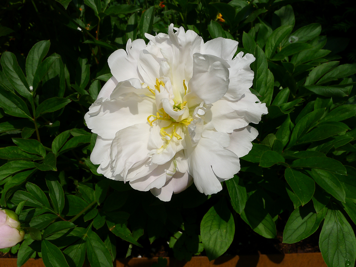 Beautiful Peony White Emperor, one of the stars of the show